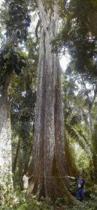 Ejemplar de saqui-saqui (Pachira quinata)