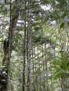 Retrophyllum rospigliosi (pino laso) Plantación en líneas Bosque nublado de San Eusebio